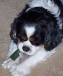 Cavalier King Charles Spaniel Holly Greenie