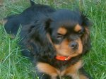 Cavalier kingCharlesSpanielBuddy12Weeks